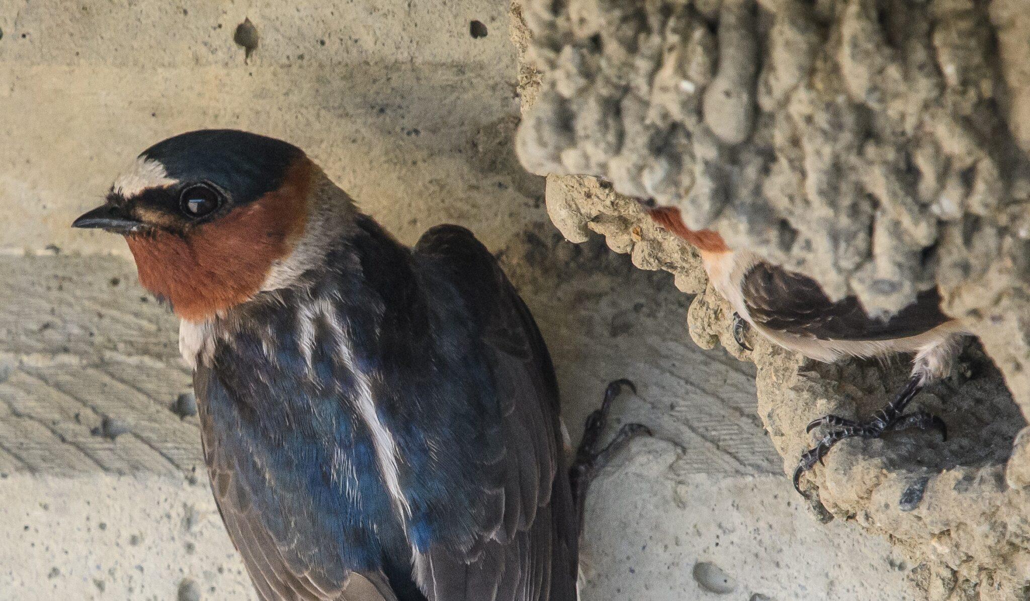 Fahlstirnschwalben bauen ihre Schlammnester gern an Betonbrücken