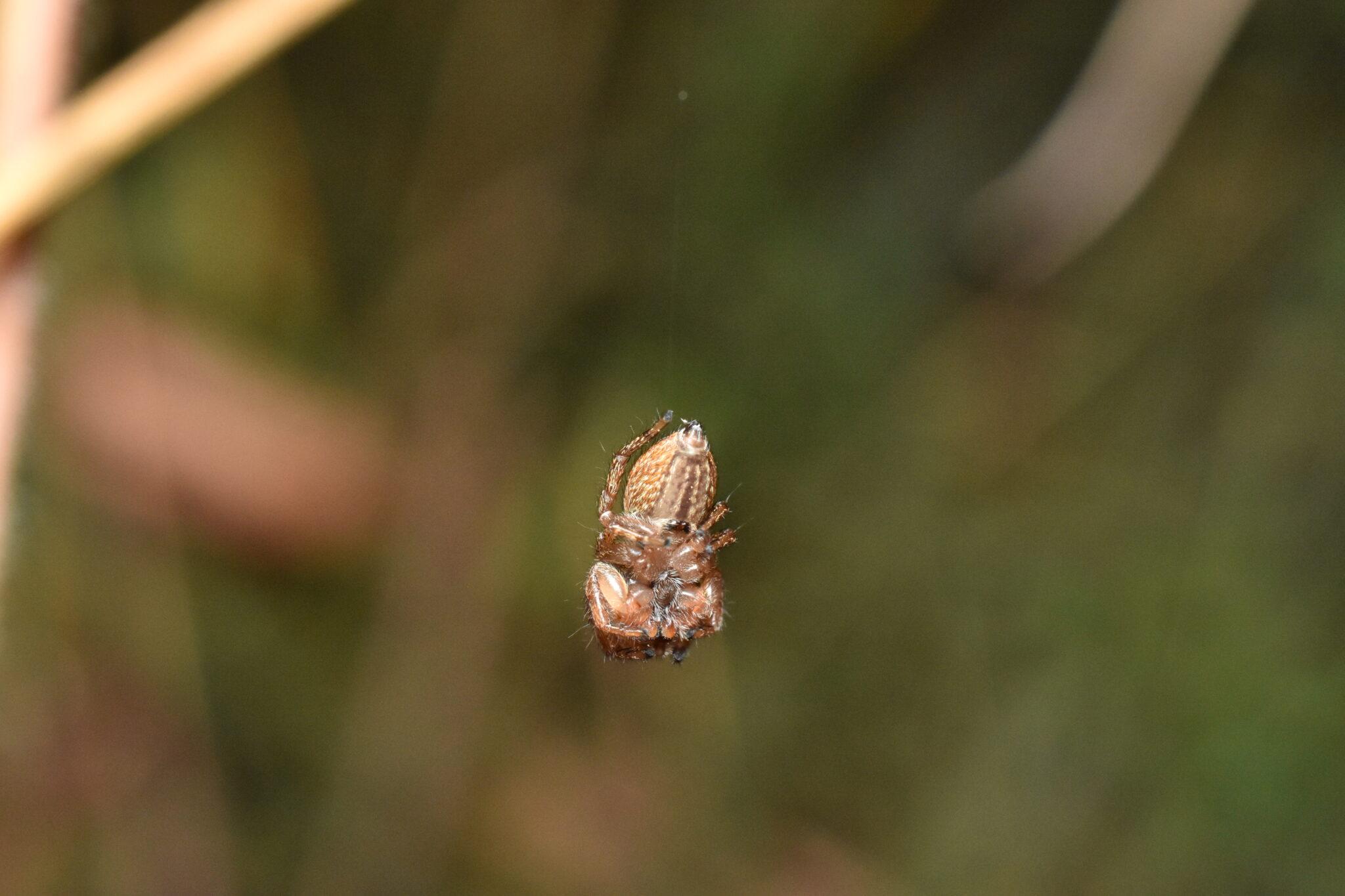 In dieser Position trafen die Forschenden die Springspinnen nachts meist an