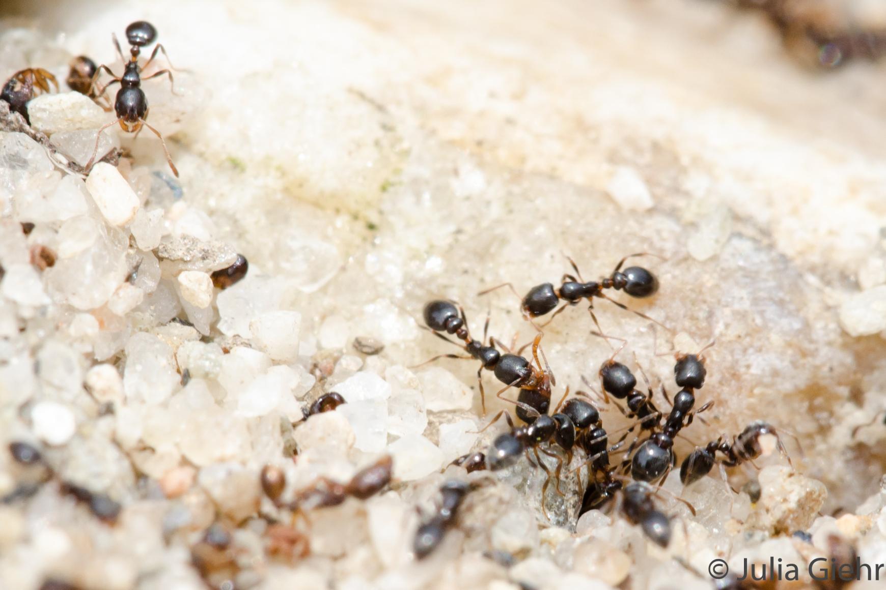 Ameisen der untersuchten Art