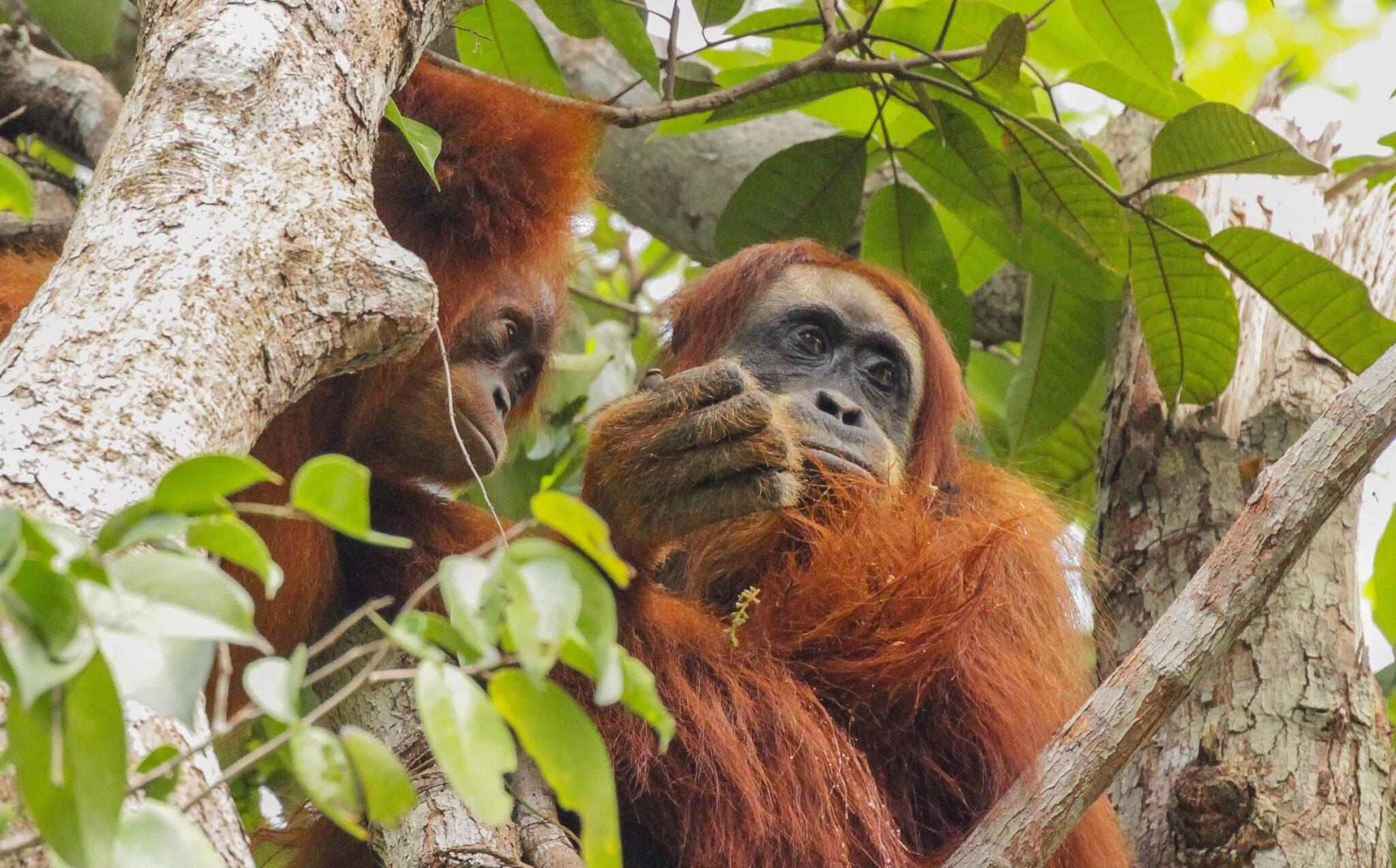 Junge Orang-Utans beobachten ältere Artgenossen aufmerksam bei der Nahrungsaufnahme