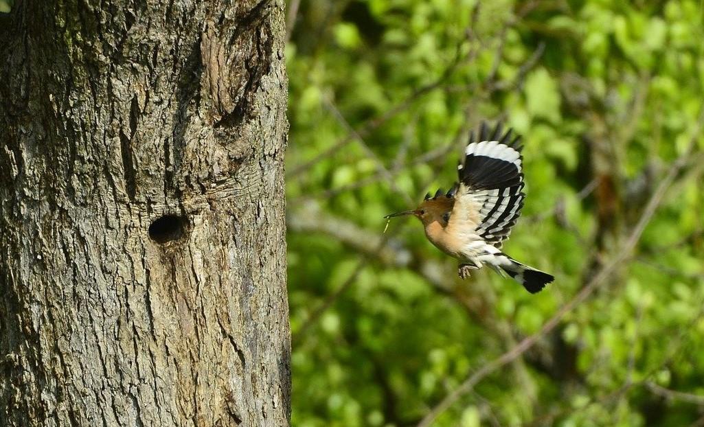 Ein Wiedehopf auf dem Weg zum Nesteingang