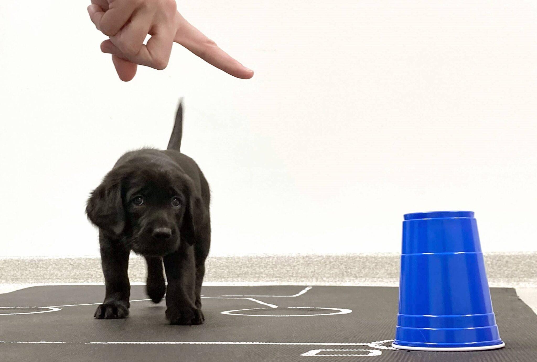 Hundewelpen können Hinweisen von Menschen auch ohne Übung folgen