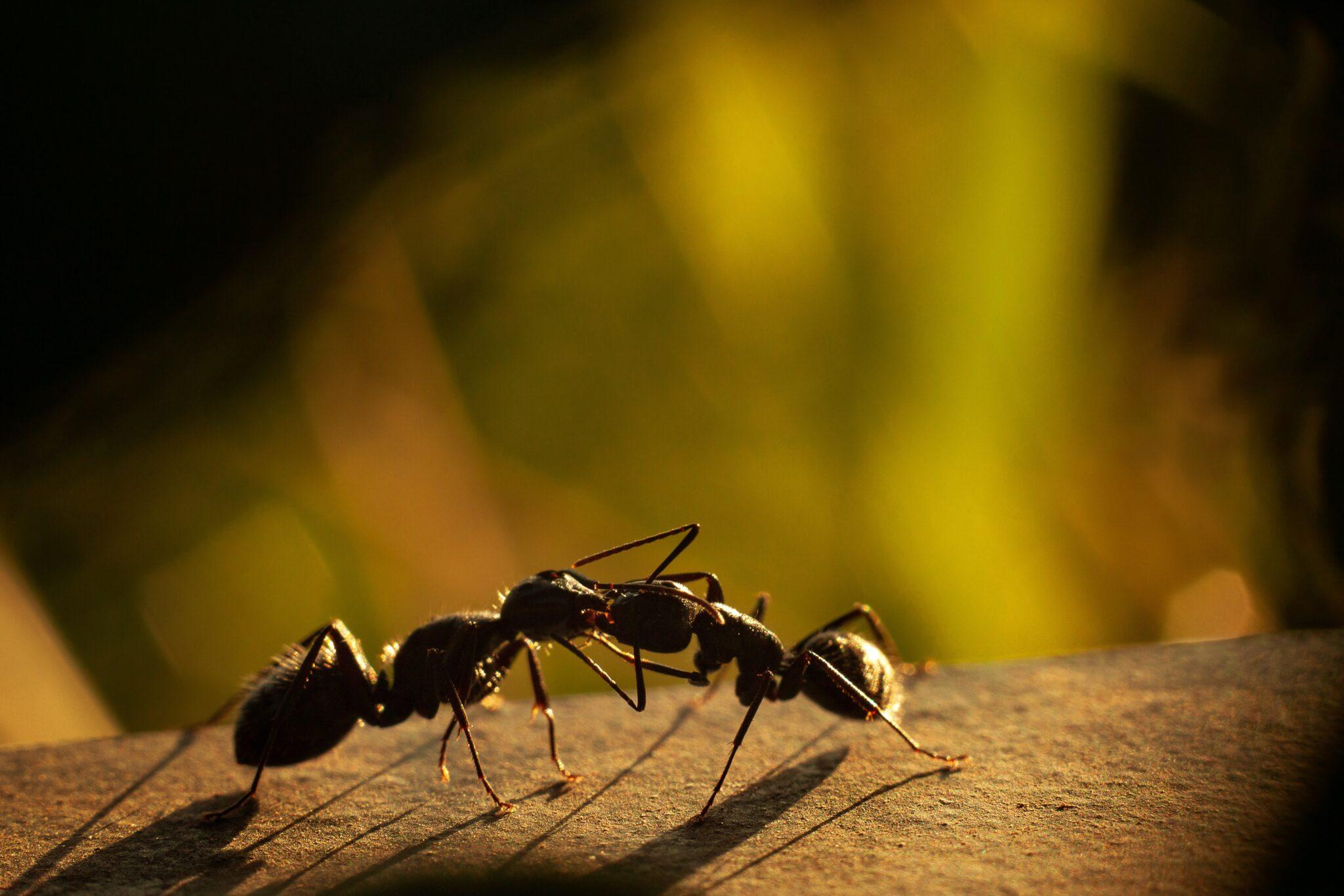 Vom Bandwurm befallene Ameisen wurden von ihren Artgenossinnen besonders umsorgt
