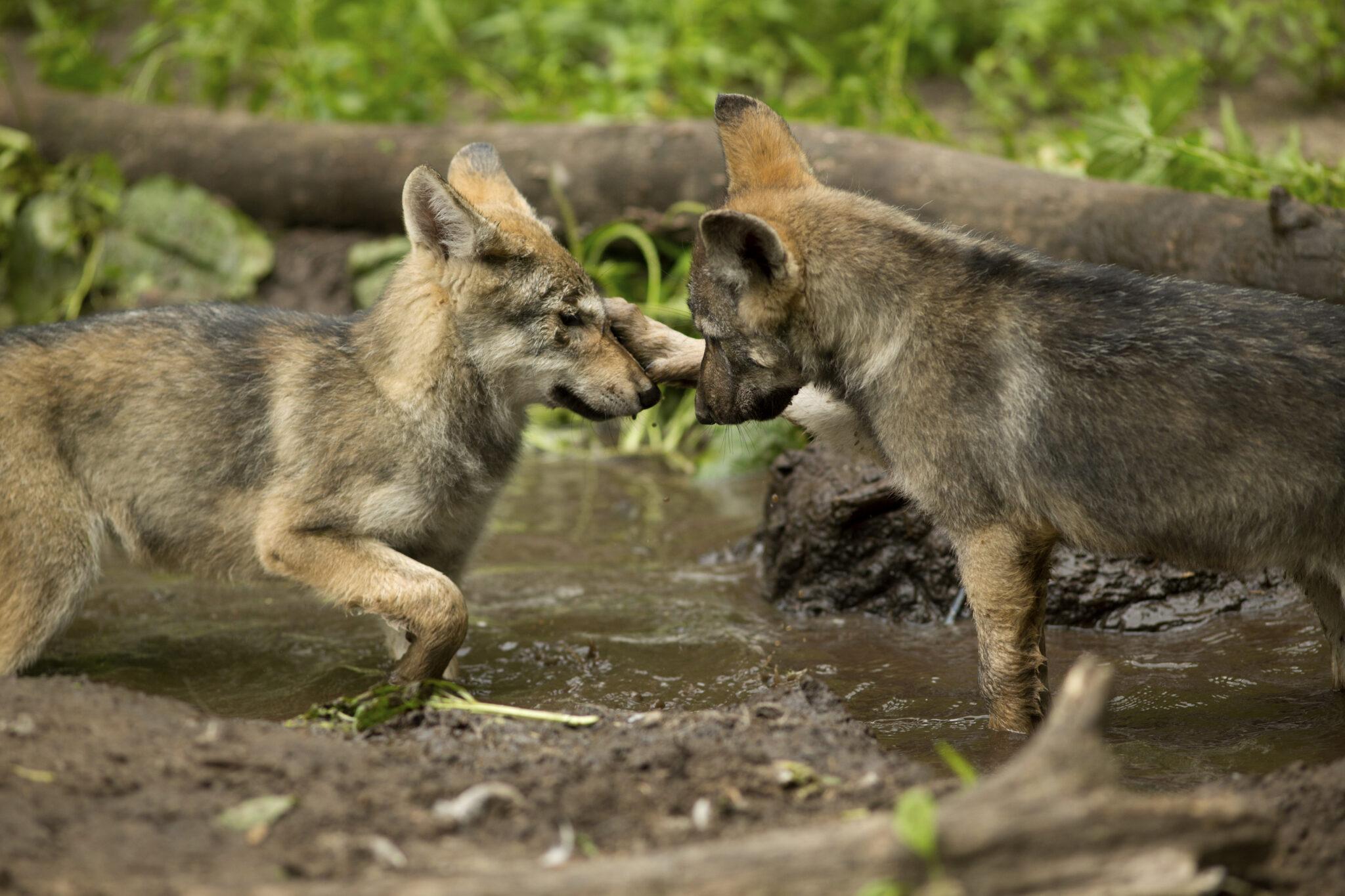Wolfswelpen im Wildlife Science Center in Minnesota, wo auch die Verhaltenstests mit den Tieren stattfanden