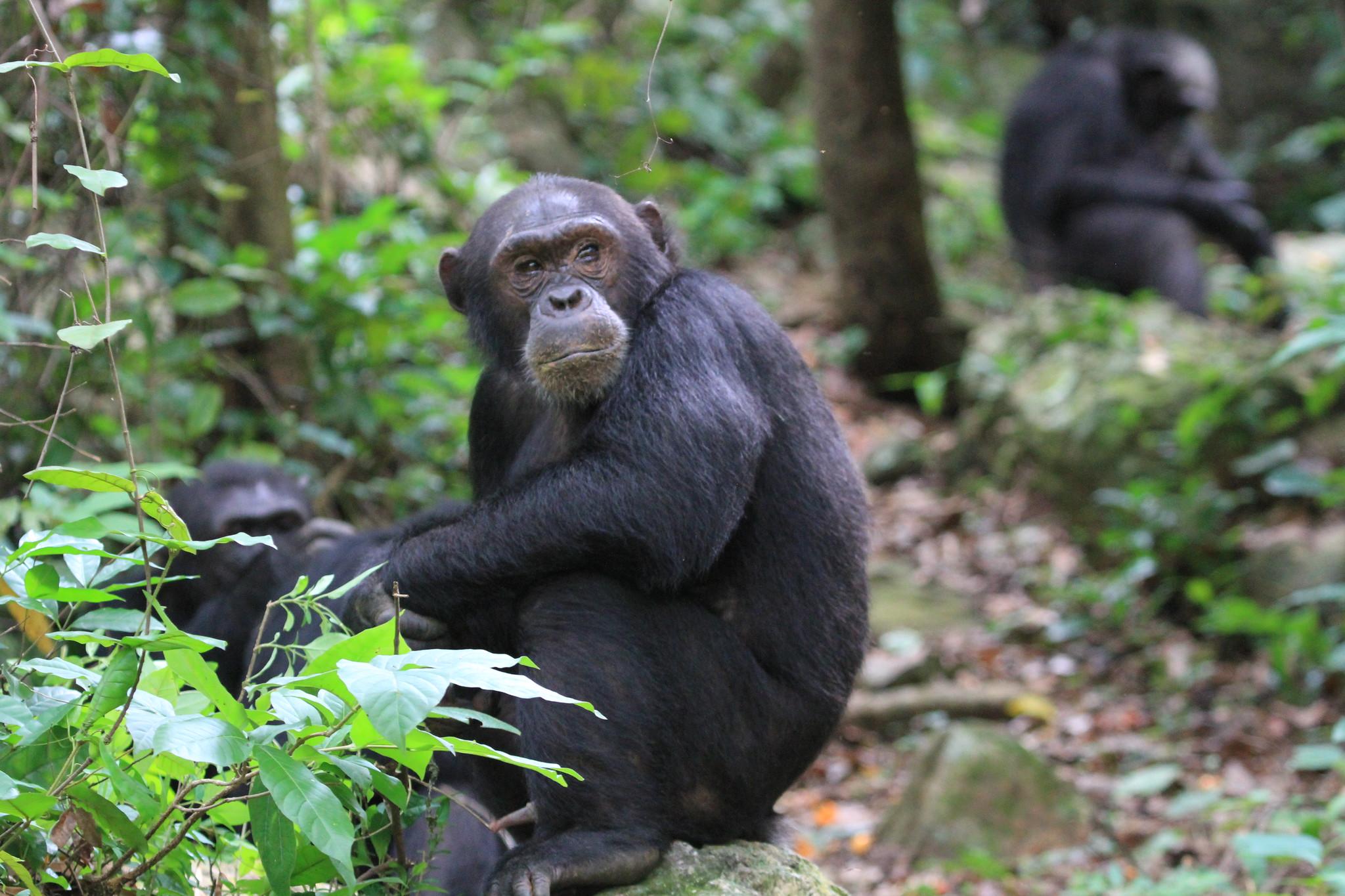 Die Beobachtung machten Forschende im Rahmen einer Langzeitstudie an wildlebenden Schimpansen
