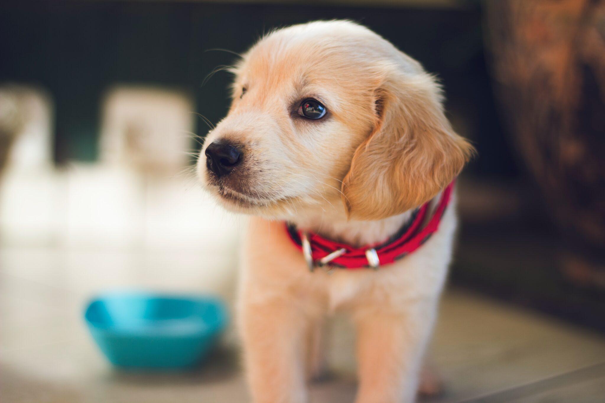 Hundewelpen verstehen Hinweise von Menschen besser als Wolfswelpen