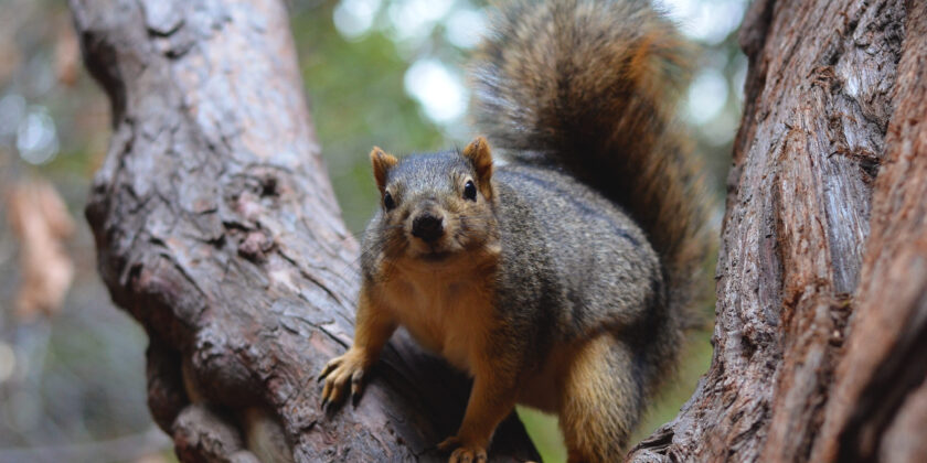 Akrobatische Nager: Ein Fuchshörnchen auf einem Eukalyptusbaum
