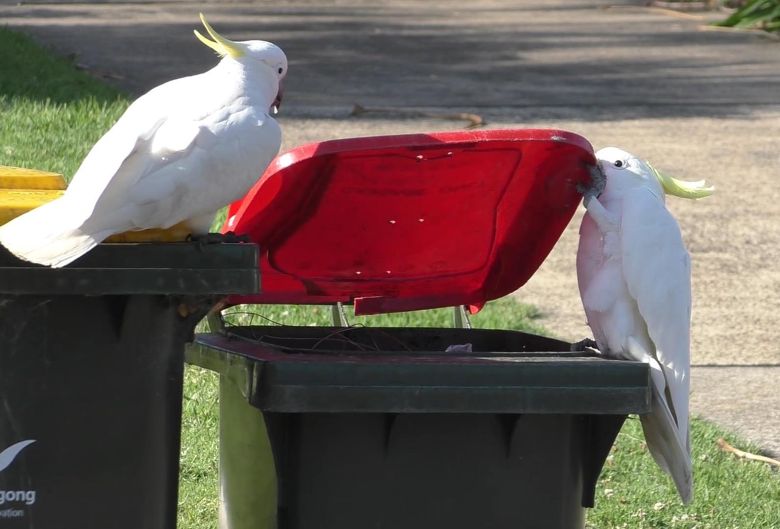 Ein Gelbhaubenkakdu beobachtet einen Artgenossen beim Öffnen eines Mülltonnendeckels