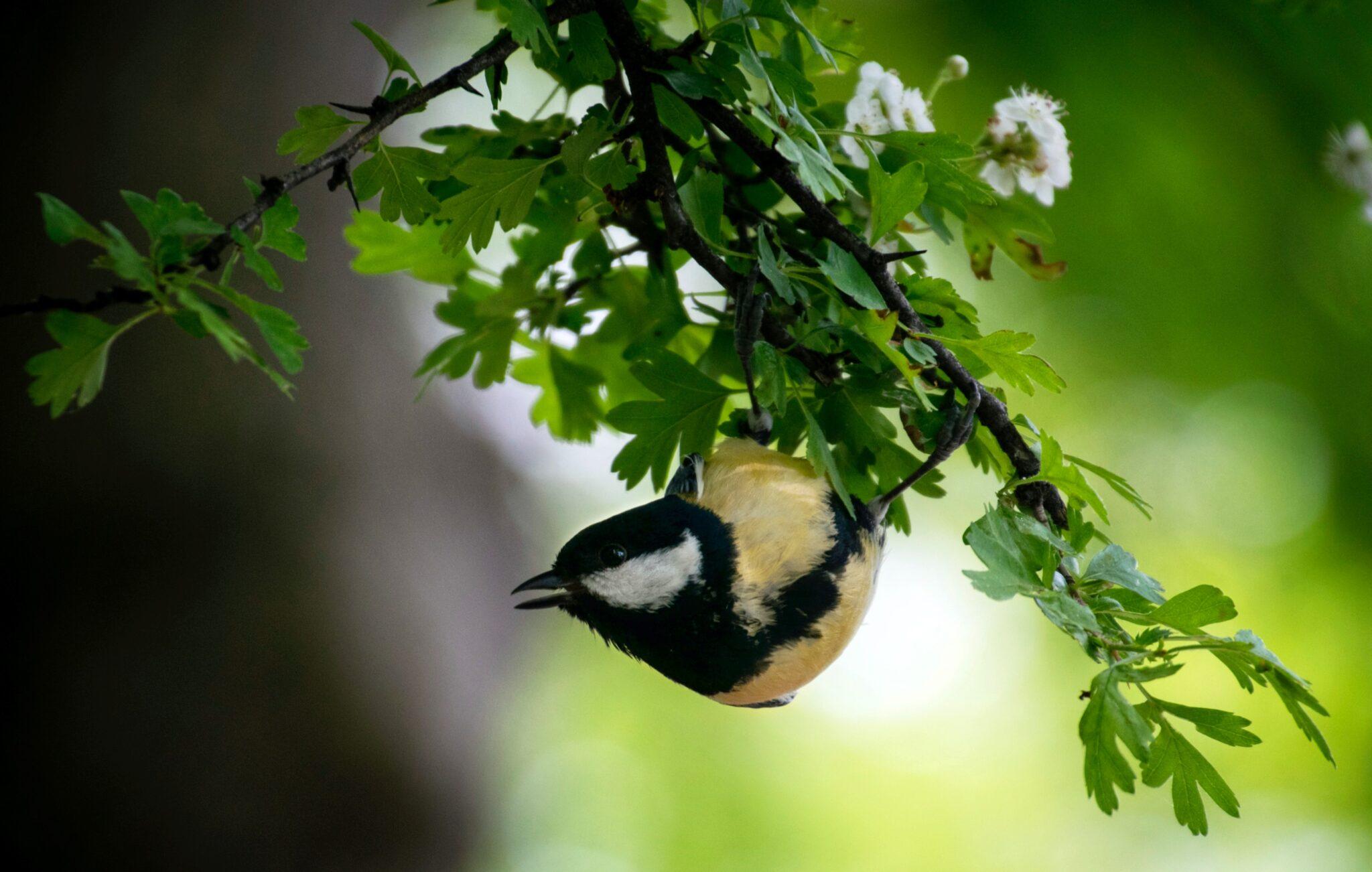 Suchen auf Pflanzen nach Insekten: Kohlmeisen