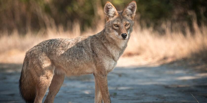 Im Nordwesten Amerikas teilen sich Kojoten ihren Lebensraum mit Pumas.
