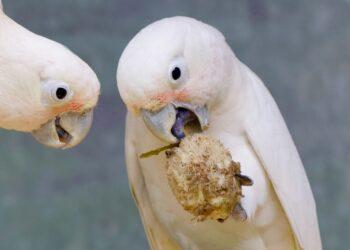 Ein Goffinkakadu verwendet ein kleines Holzstäbchen um an das nahrhafte Innere eines hartschaligen Samens zu kommen.