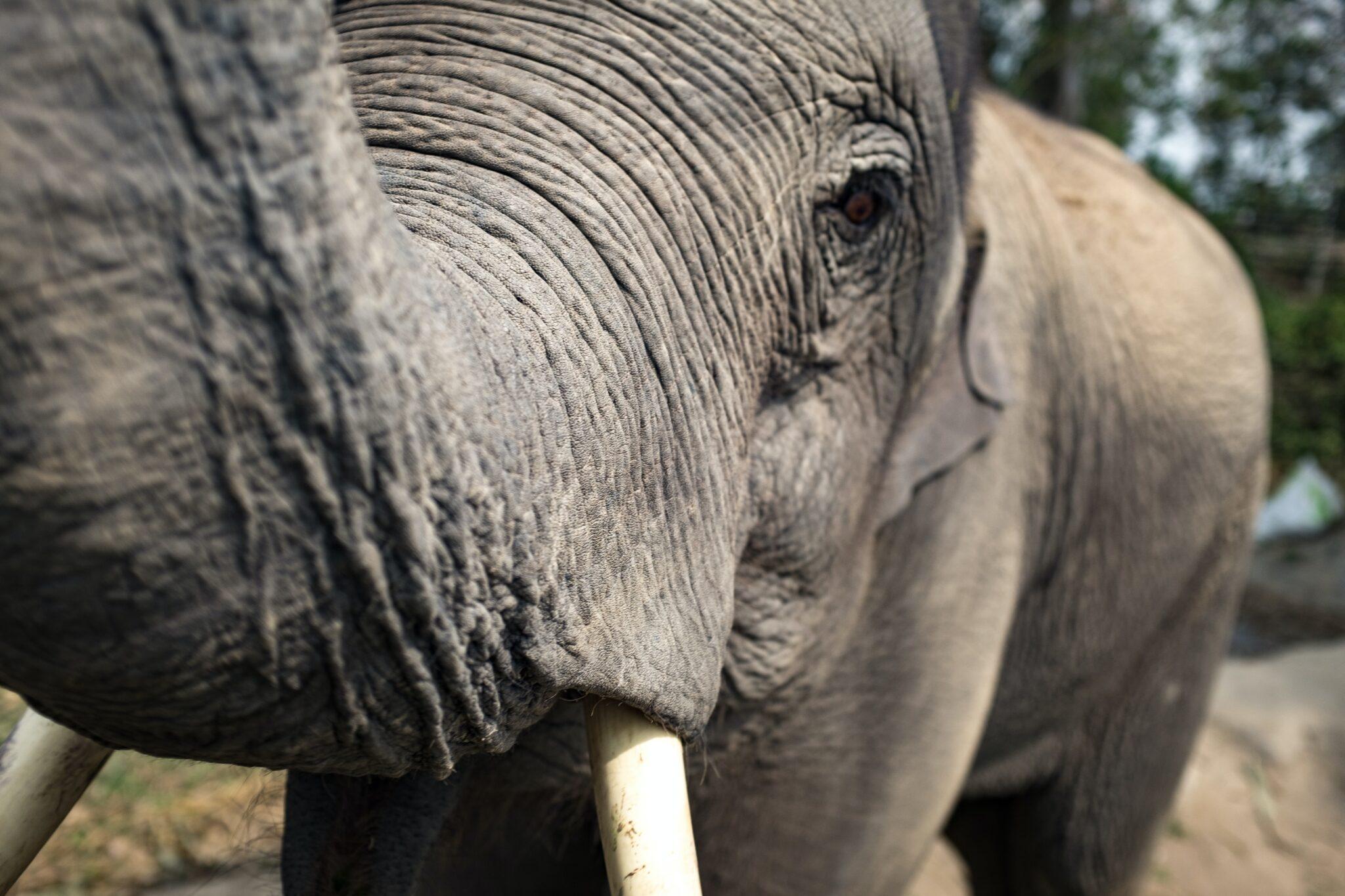 Im Fokus der Studie: Asiatische Elefanten.