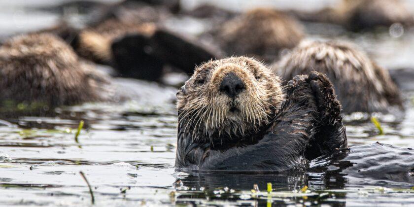 Seeotter gehen unter Wasser auf Nahrungssuche.